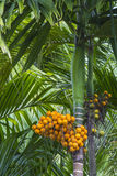 Betel nut tree. Taking from bottom to top Royalty Free Stock Photo