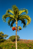 Betel Nut tree growing in Kauai Stock Image