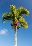 Betel Nut tree growing in Kauai. Betel Nut or Areca Catechu tropical tree growing in Kauai Royalty Free Stock Photography