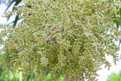 Betel nut and tree. Small betel nut are on the tree Stock Photos