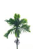Betel nut tree. On white background Stock Images