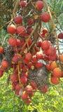 Betel nuts. Betel Royalty Free Stock Photo