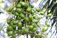 Betel Nuts, beautiful cluster royalty free stock images