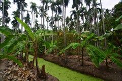Betel Nuts plantation. & Banana plantation Royalty Free Stock Photography