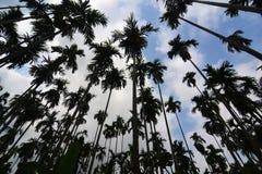 Betel Nuts plantation. In thailand Stock Photos