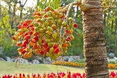 Betel Nuts Royalty Free Stock Image