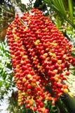 Betel Palm Royalty Free Stock Image