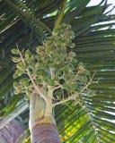 betel palm Royalty-vrije Stock Foto