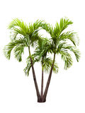 Betel palm Royalty Free Stock Photography