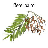 Betel palm Areca catechu , or Indian nut, medicinal plant. Hand drawn botanical vector illustration Royalty Free Stock Images