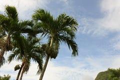 betel palm Royalty Free Stock Photos