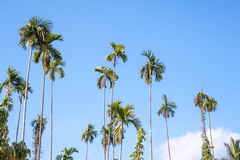 Betel palm Royalty Free Stock Images