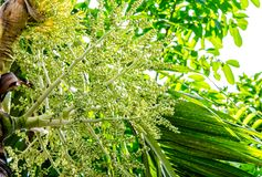 Betel palm flower and leaf background Stock Image