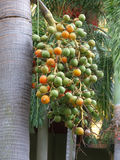 betel palm fruit Royalty Free Stock Images
