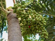 Betel palm fruit in nature. stock image
