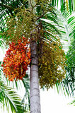 Betel palm fruit Royalty Free Stock Photo