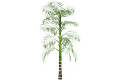 Betel palm isolated on white with clipping path Stock Photos