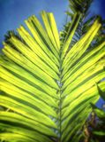 Betel palm leaves Stock Photos