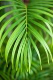 Betel palm leaves Stock Image