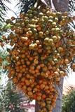 Betel palm Stock Photography