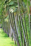 Betel palm. Are standed row beautiful Royalty Free Stock Photo