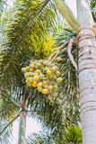 betel palm Royalty Free Stock Image