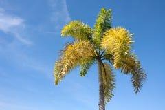 Betel palm tree Stock Photos