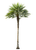 Betel palm tree cut out isolated. On white Royalty Free Stock Image