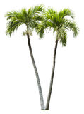Betel palm tree element isolated. On white Stock Photo