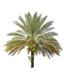 Betel palm tree isolated on white Stock Photography