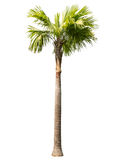 Betel palm tree isolated. On white Royalty Free Stock Photo