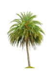 Betel palm tree isolated on white Royalty Free Stock Images