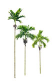 Betel palm tree. Stock Photography