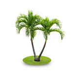 Betel palm tree. Isolated on white background Stock Photo