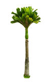 Betel palm tree on a white background clipping path. Betel palm tree on a white background Stock Photo