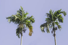 Betel palm trees against blue sky. In the garden Stock Photo