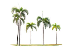 Betel palm trees Royalty Free Stock Photography