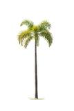 Betel palm trees Stock Photography