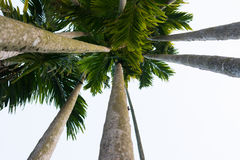 Betel palm. Uprisen angle view betel palm trunk Royalty Free Stock Images
