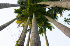 Betel palm. Uprisen angle view betel palm trunk Stock Images