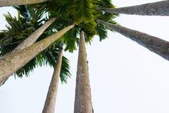 Betel palm. Uprisen angle view betel palm trunk Royalty Free Stock Image