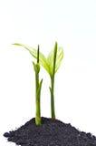betel palma Zdjęcie Royalty Free