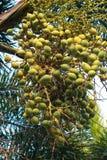 Betel palma Zdjęcia Stock