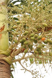 betel palma Thailand Obrazy Royalty Free