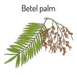 Betel palmy areki catechu lub Indiańska dokrętka, lecznicza roślina Obrazy Royalty Free