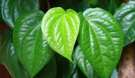 The Betel. Or Piper betle in West Java, Indonesia. Betel leaf is mostly consumed in Asia, as betel quid or in paan, with Areca nut and/or tobacco Stock Photo