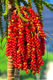 Betel tree with red nuts Royalty Free Stock Photos