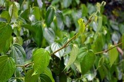 Betelbladeren Royalty-vrije Stock Afbeelding