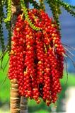 Betelboom met rode noten Royalty-vrije Stock Foto's