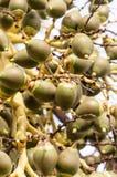 Betelfruit Royalty-vrije Stock Foto
